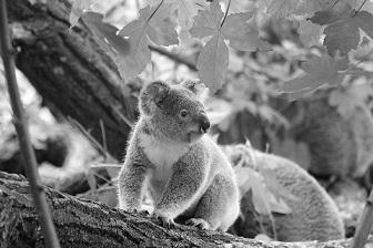 Chien de détection : un outil puissant pour la conservation du koala