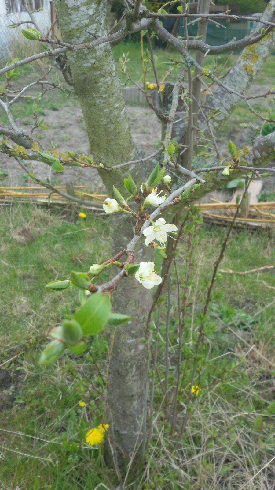 Die Frühblüher spriessen und auch die ersten Obstbäume blühen. Es wird Frühling!