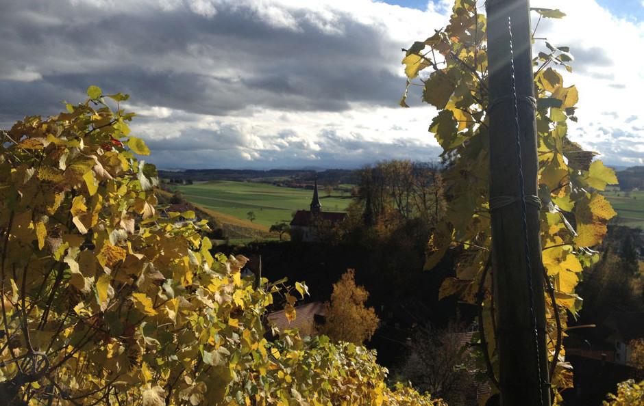 Rebberg in Oberstammheim