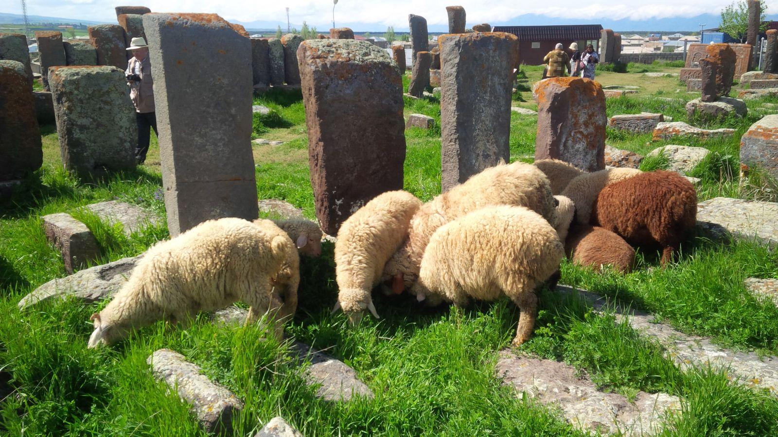 Schafherde im Friedhof Noratus