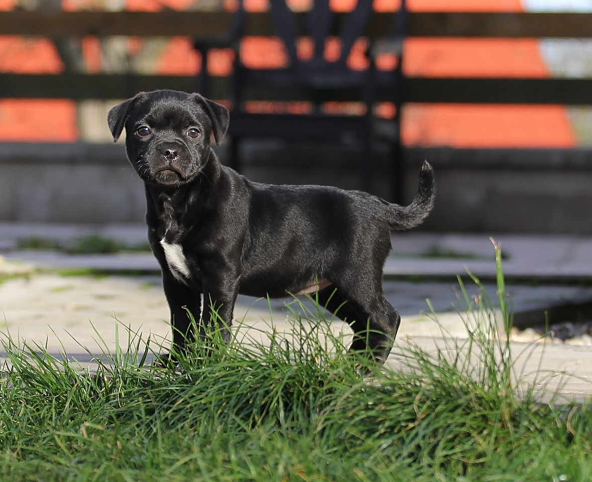 Lavender Smell Miracle Bulls,  girl, 7 weeks