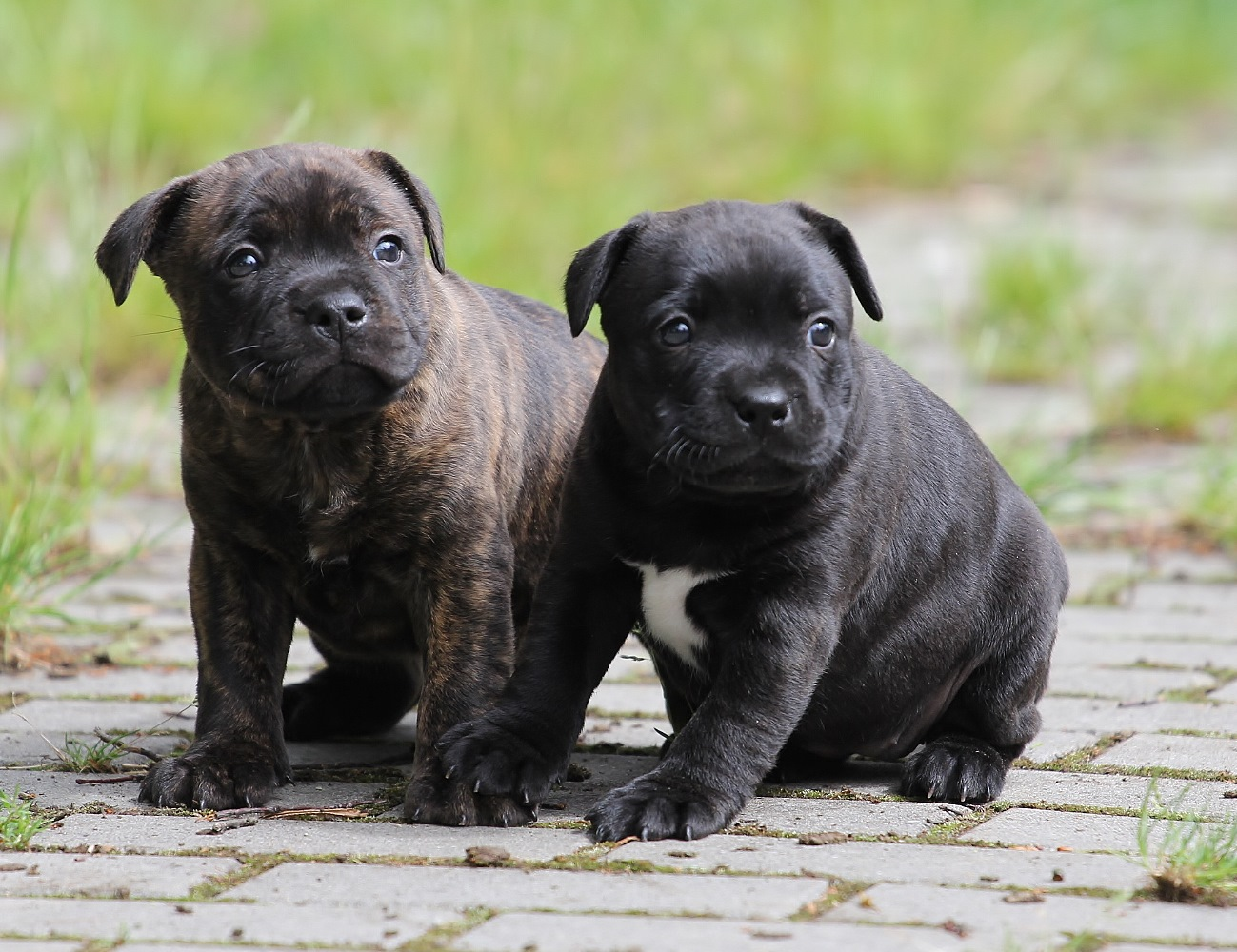 Miracle Bulls, litter-I, puppies 5 weeks old