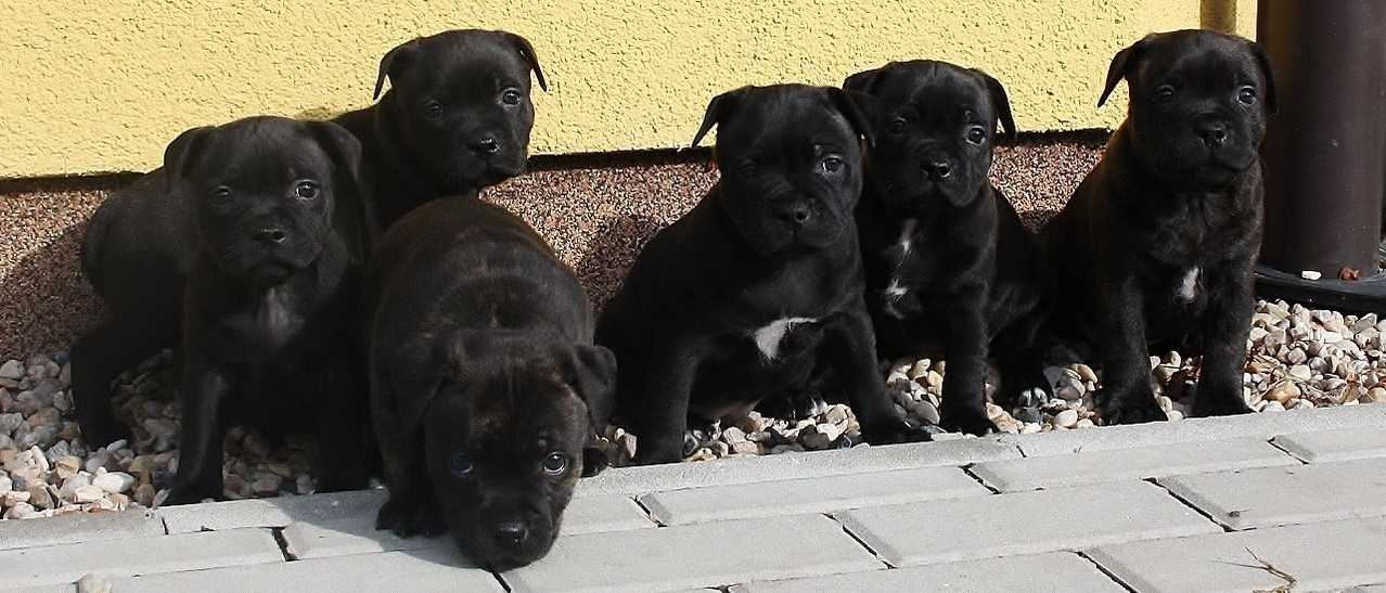 Miracle Bulls kennel, litter - E, 5 weeks old