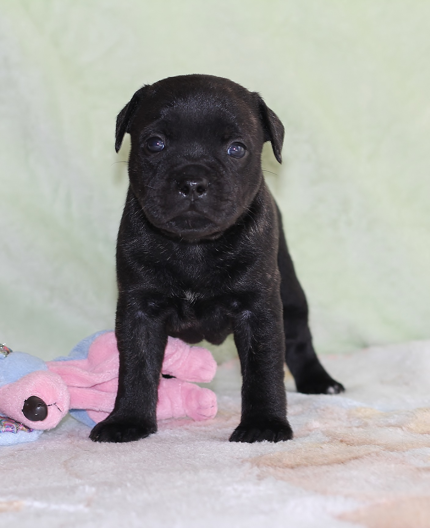 KNOTTSWAY CHICO Miracle Bulls, (purple boy) 29 days old