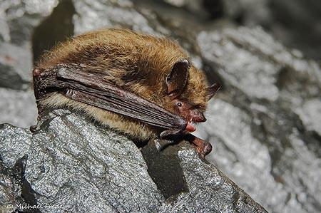 Kleine Bartfledermaus Myotis mystacinus