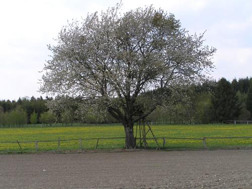 Blühende Vogelkirsche in der Landschaft.
