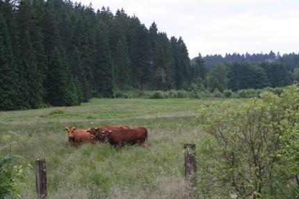 Knapp 4 ha naturschutzfachlich wertvolles Grünland besitzt der NABU Siegen-Wittgenstein in der Ederaue bei Hilchenbach-Altenteich. Die Fläche wird von einem Landwirt bewirtschaftet, der sie als Weide für sein Rotes Höhenvieh nutzt. Foto: Eva Lisges