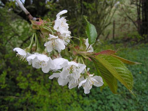 Kirschzweig mit gedrängt stehenden Blüten.