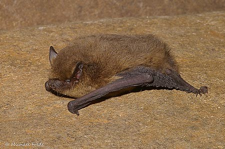Zwergfledermaus Pipistrellus pipistrellus