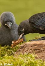 Dohlen, ein Alt- und ein Jungvogel
