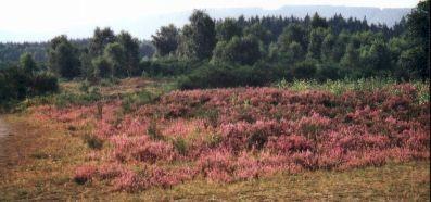 Zwergstrauchheide (Calluna vulgaris-Gesellschaft), im Hintergrund Übergang zu Ginstergestrüppen (Sarothamnetum scoparius) (Foto: Ralf Linke, NABU)