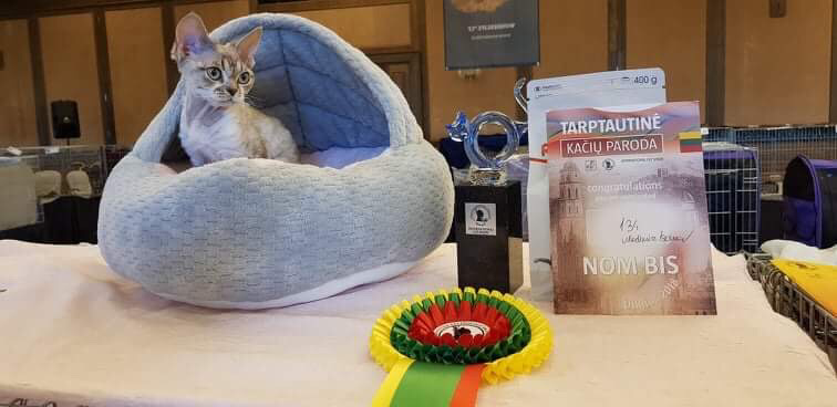 Best kitten Mitava Zabava devon rex