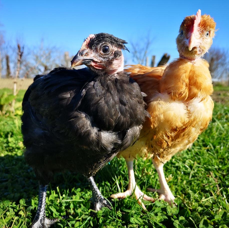 En venant chercher leur colis de viande de bœufs Normand, les clients pourront aussi acheter un poulet plein air élevé chez nous, prét à cuir ! (9€/kg)