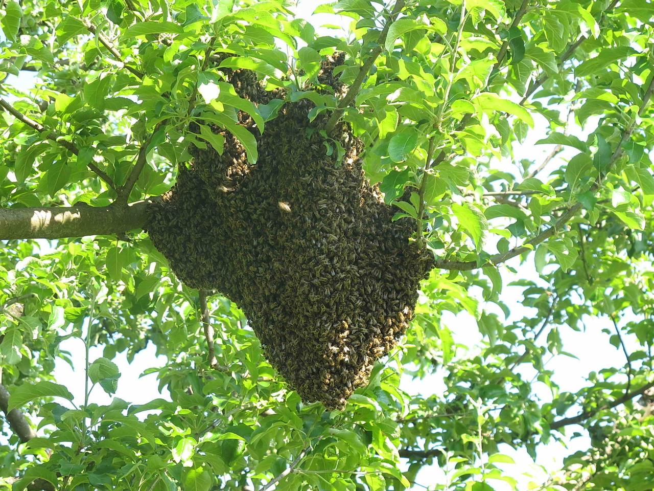 Zum Abschluss ein Bienenschwarm auf Abwegen