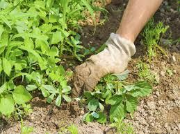 Unkraut Im Garten Was Tun Gartenbauverein Schliersee