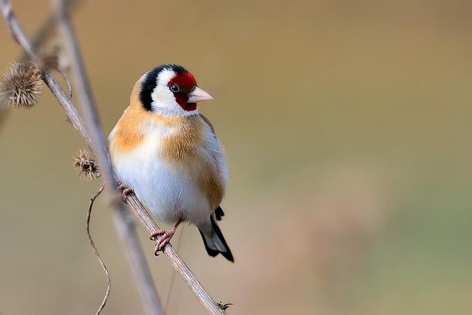 Der Stieglitz - Vogel des Jahres 2016