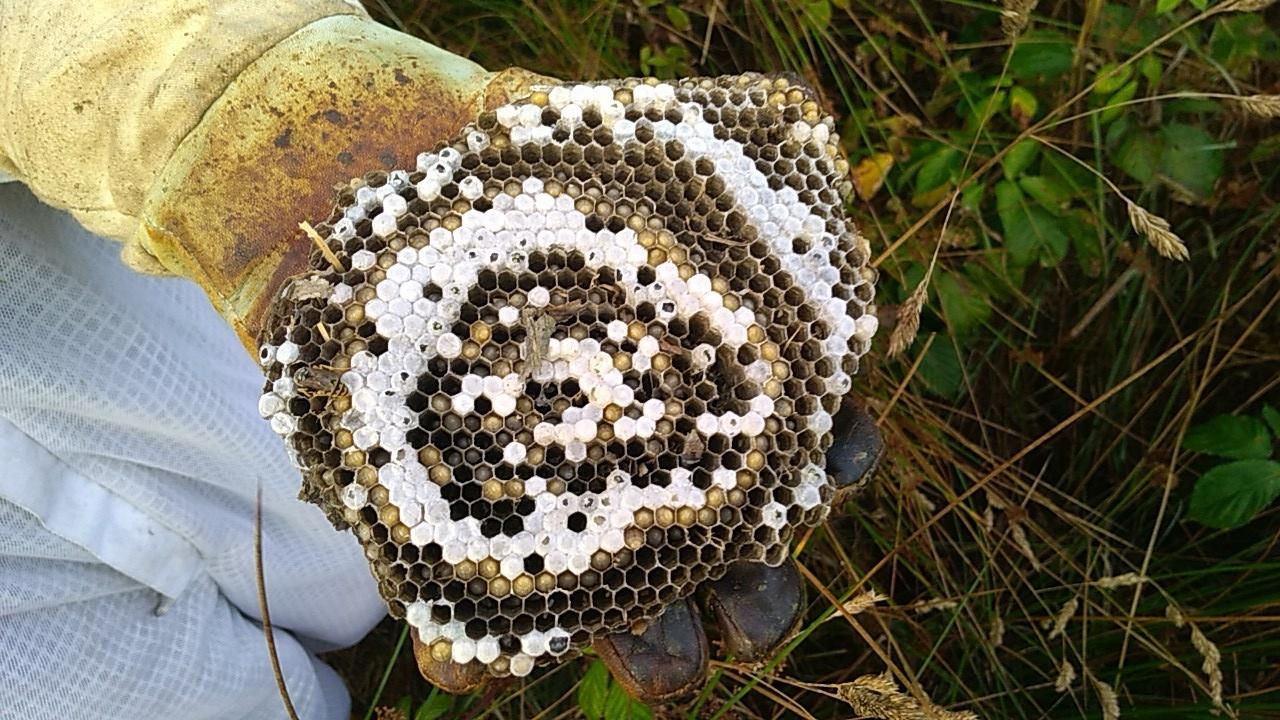 Brutwabe eines Wespennestes (Deutsche Wespe)