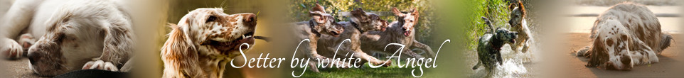 English Setter by white Angel | www.angel-setter.de