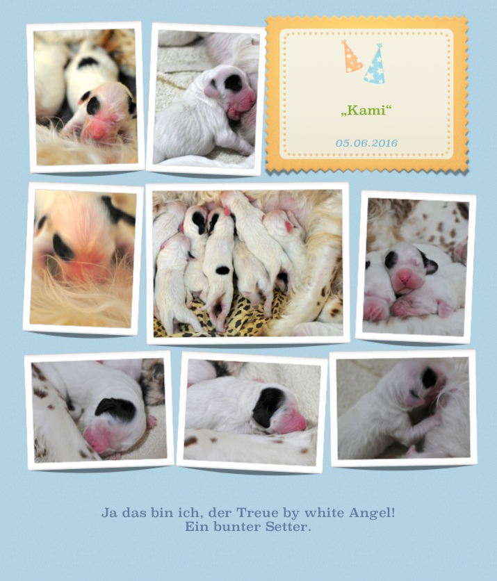 "English Setter Kami by white Angel "" 11 """