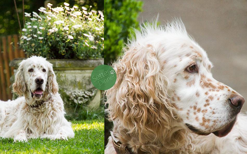 Baron by white Angel wird 9 Jahre alt im Dezember, all seine Geschwister erfreuen sich bester Gesundheit.