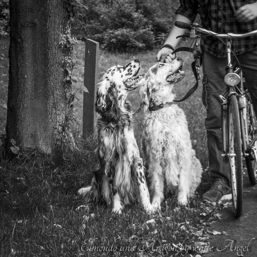 2015: Elmondo zu Besuch. Fahrradfahren mit den zwei Settern klappte direkt.