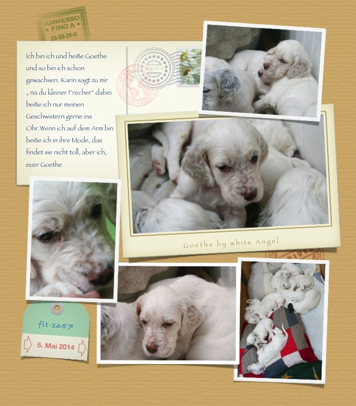 Goethe by white Angel | English Setter www.angel-setter.de