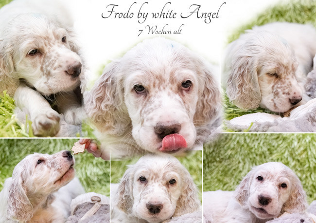 English Setter Frodo by white Angel
