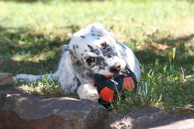 Kosima K-Wurf 2016 english setter angel