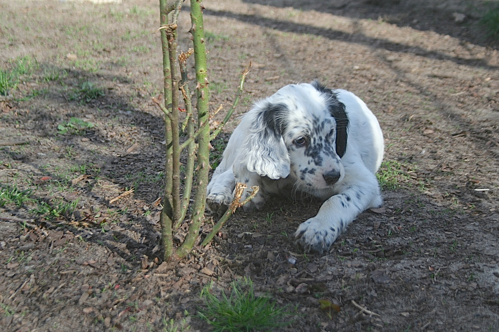 English Setter Joe by white Angel!