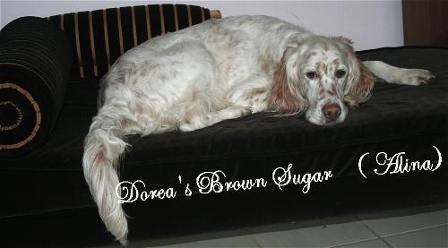 """""""Alina"""" Doreas Brown Suger, die Stammmutter der Setter Angels"""