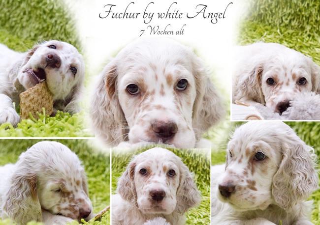 English Setter Fuchur by white Angel