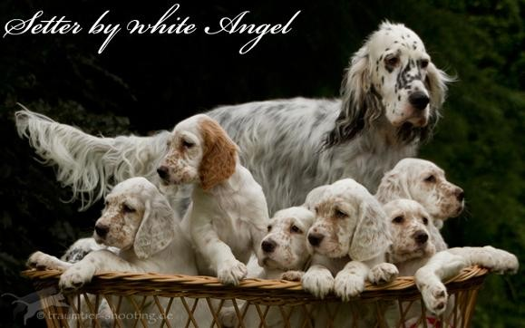 English Setter by white Angel: D-Wurf im August 2011