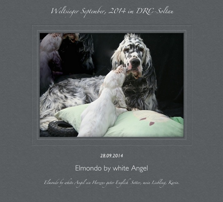 Papa Elmondo English Setter www.angel-setter.de