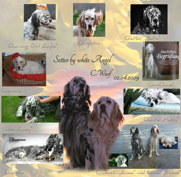 Die English Setter by white Angel`s