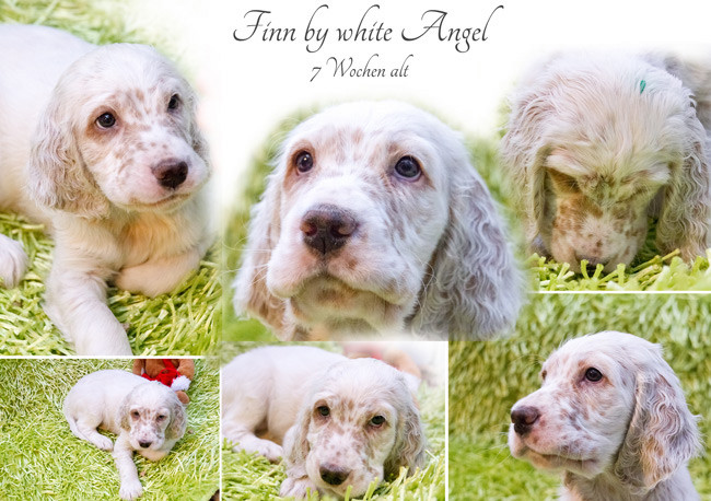English Setter Finn by white Angel