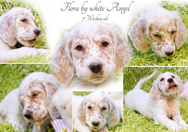 English Setter Flora by white Angel