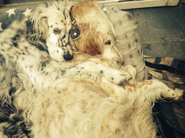 Im English Setter Rudel by white Angel