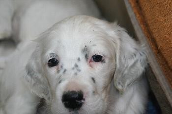English Setter Welpe Golda by white Angel www.angel-setter.de