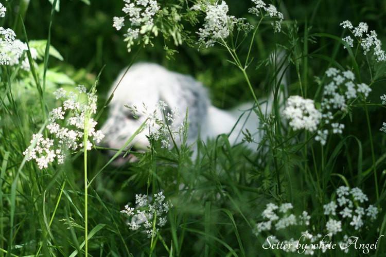 Setter by white Angel: Cinderella und der Hase