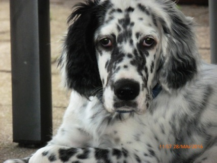 Janus (Jules ) by white Angel der Wolf ! ein english setter