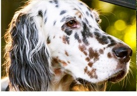Isabell by white Angel, English Setter