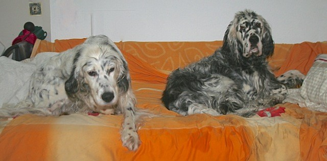English Setter der J- Wurf 2016, by white Angel