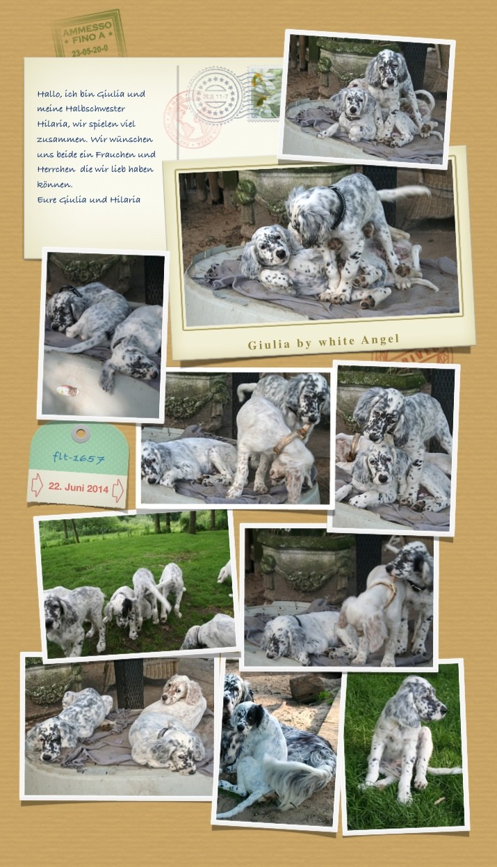 English Setter Giulia by white Angel | www.angel-setter.de