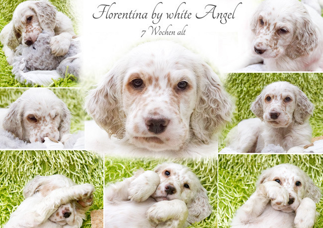 English Setter Florentina by white Angel