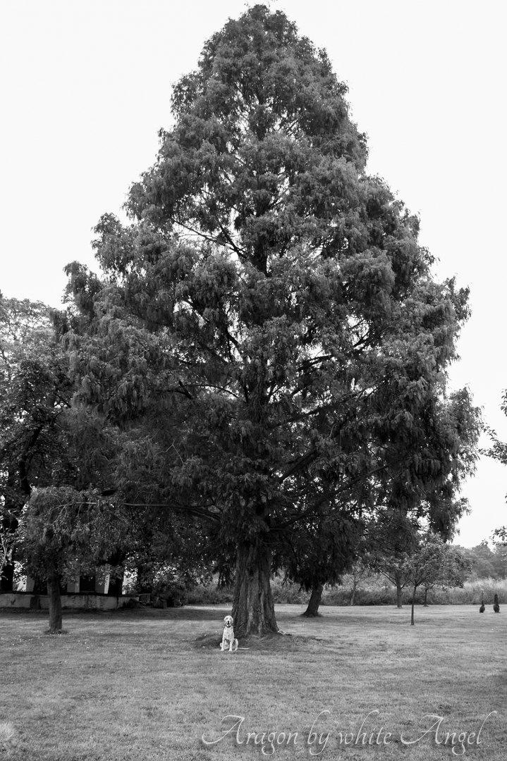 Kleiner Setter, großer Baum. Sept. 2016