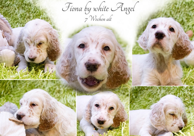English Setter Fiona by white Angel