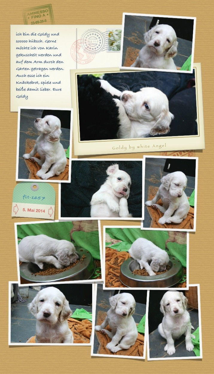 Goldy by white Angel | English Setter www.angel-setter.de