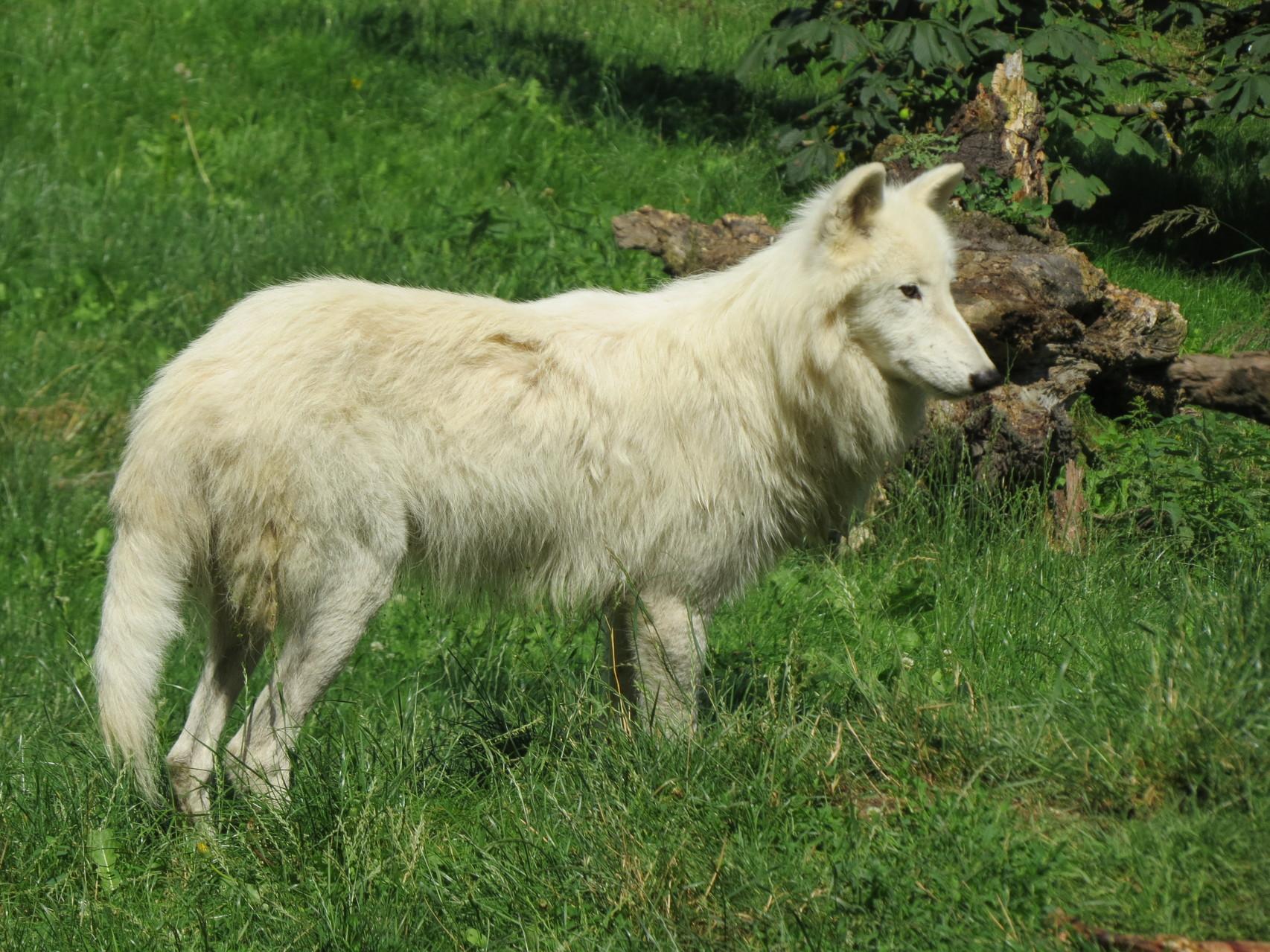 Wolfsfütterung in der Tierwelt Herberstein