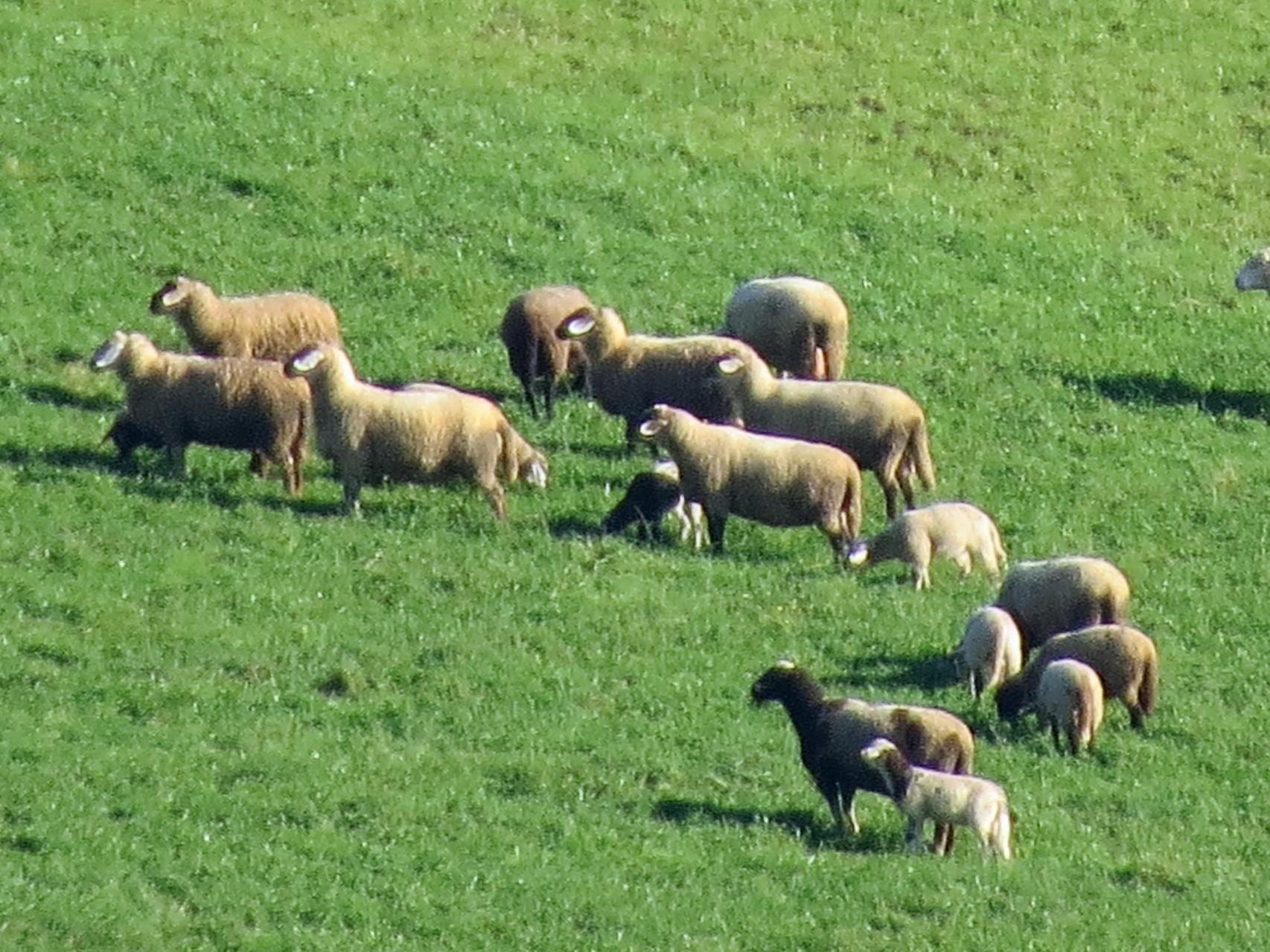 Die Schafe am Gegenhang