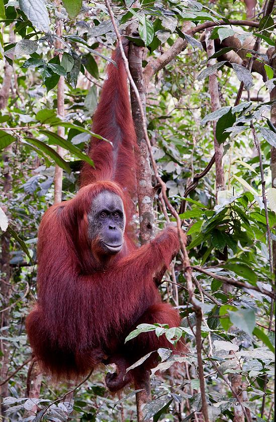 Orangutan, Leuser Nationalpark
